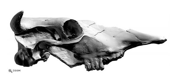 Cow Skull 3D Scan